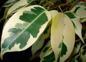 Уход за фикусом в домашних условиях и история появления фикуса в цветоводстве