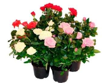 Уход за комнатной розой на вашем подоконнике