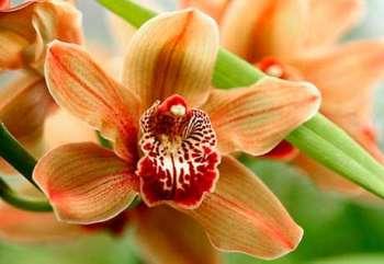 Капризная красавица орхидея