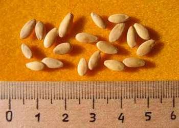 Контроль за посевными качествами семян