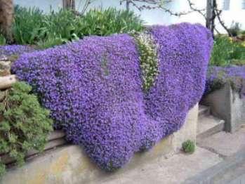 Обриета, секреты выращивания