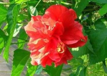 Почему розы не цветут в саду