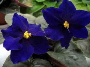 Почему сенполия не цветет?