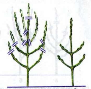 Формирование кроны молодых плодовых деревьев
