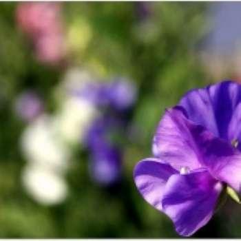 Душистый горошек. Девять правил успешного выращивания