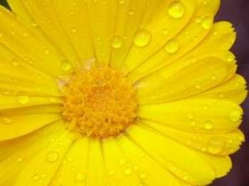 Календула - солнечный цветок