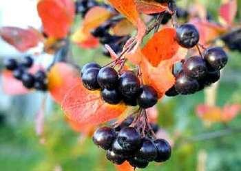 Эта полезная черноплодная рябина: способы размножения и технология ухода