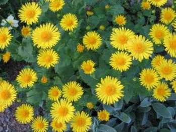 Дороникум восточный - растение, цветущее весной