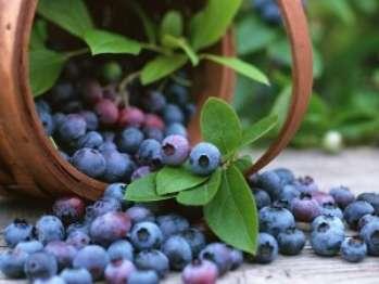 Голубика садовая: уход и хранение