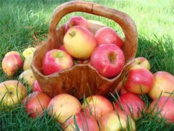 Закладка яблок и груш на зимнее хранение