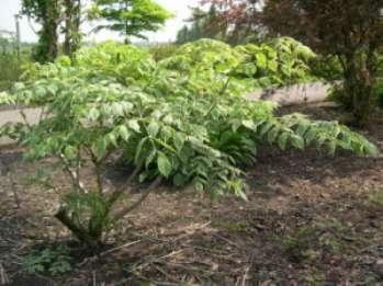 Шип-дерево (Аралия маньчжурская)