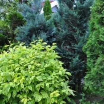Принцип построения композиции из хвойных растений