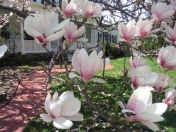 Магнолия Суланжа - древесное растение, которое предпочтительно высаживать весной