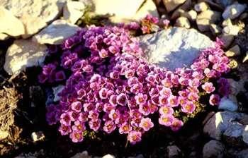 Уход, выращивание и размножение камнеломки