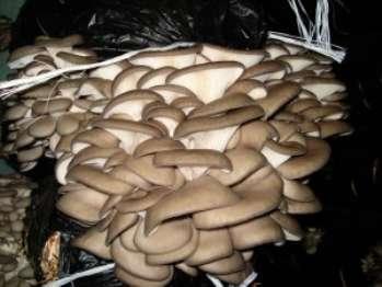 Как выращивать грибы вешенки на пнях и субстрате