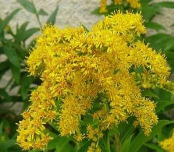 Как вырастить растение золотарник