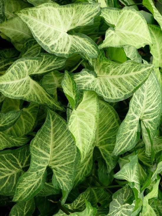 Сингониумуход и выращивание 44