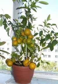 Сорта мандаринов - Мамин советник